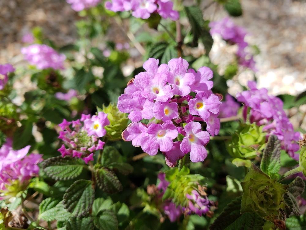 Florida Xeriscaping-Flowering-Low-Rise-Shrub-Of-FL-1